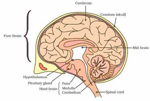 Control and coordination ncert exemplar page 3 dronstudy forebrain cerebrum it is the most complex part of brain it includes the most essential functions of the body ccuart Image collections