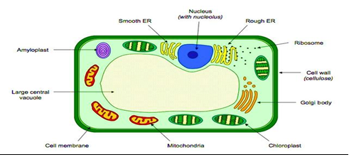 The fundamental unit of life ncert exemplar dronstudy part 3 q59 draw a neat diagram of plant cell and label any three parts which differentiate it from animal cell ccuart Gallery