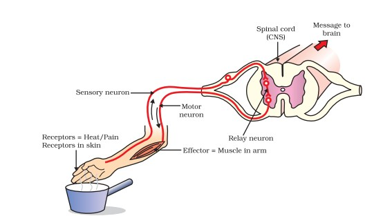 Control and coordination complete set of question dronstudy ques 21 reflex arc ccuart Gallery